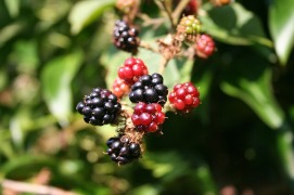 blackberry-200535_640
